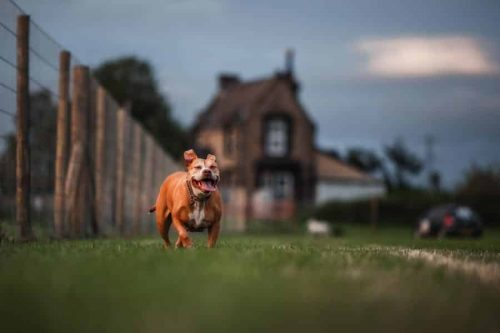 a dog running down the field while training